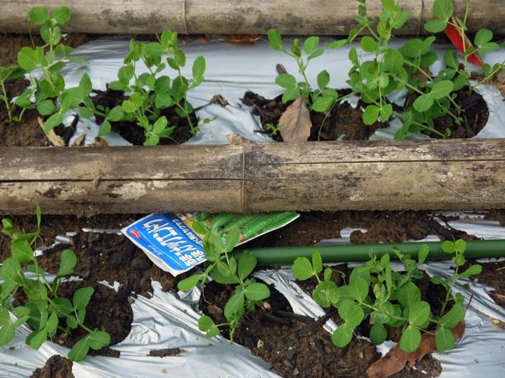 今冬、ブロッコリー、ニンジン、インゲンを初収穫11・28_c0014967_915686.jpg