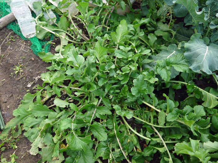 種蒔きから3ヶ月超⑧鎌倉だいこん栽培記録11・28_c0014967_9513423.jpg