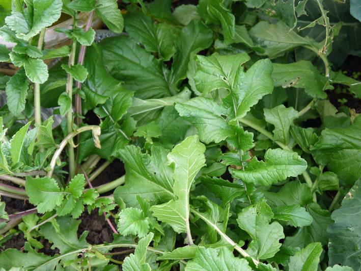 種蒔きから3ヶ月超⑧鎌倉だいこん栽培記録11・28_c0014967_9521710.jpg