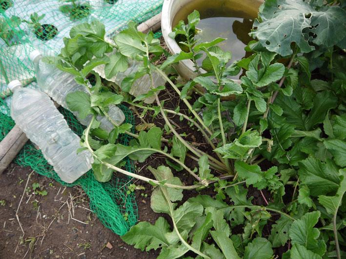 種蒔きから3ヶ月超⑧鎌倉だいこん栽培記録11・28_c0014967_9522974.jpg