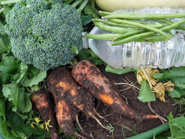 今冬、ブロッコリー、ニンジン、インゲンを初収穫11・28_c0014967_953347.jpg