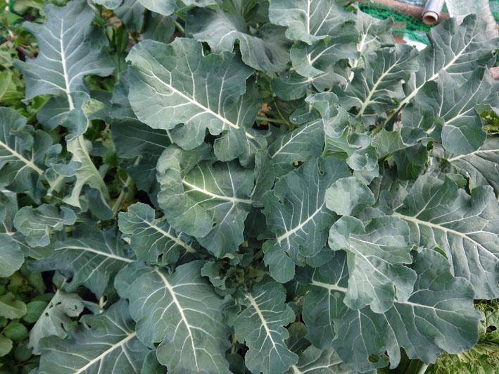 今冬、ブロッコリー、ニンジン、インゲンを初収穫11・28_c0014967_971816.jpg
