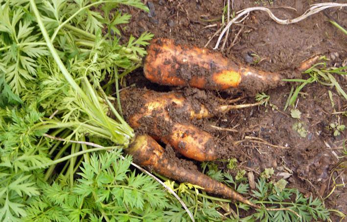 今冬、ブロッコリー、ニンジン、インゲンを初収穫11・28_c0014967_985832.jpg