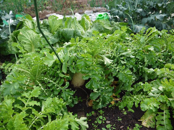 今冬、ブロッコリー、ニンジン、インゲンを初収穫11・28_c0014967_995040.jpg