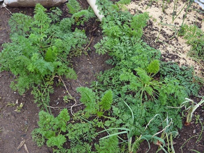 今冬、ブロッコリー、ニンジン、インゲンを初収穫11・28_c0014967_99821.jpg