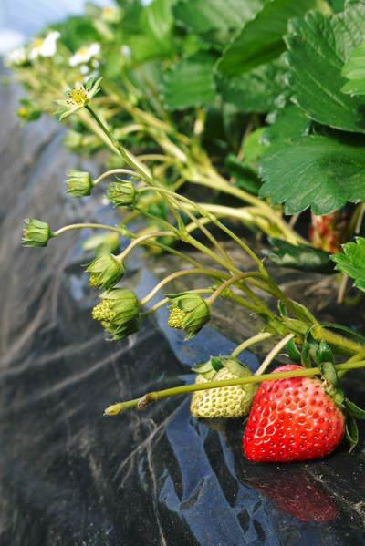 完熟紅ほっぺ 本格的な出荷前の、栽培ハウスの様子と減農薬栽培のこだわり_a0254656_10112018.jpg