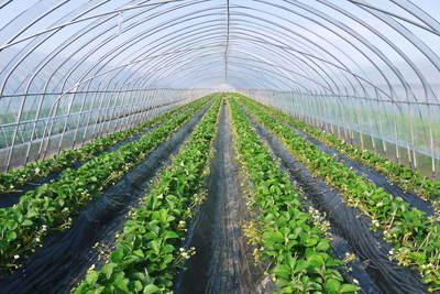 完熟紅ほっぺ 本格的な出荷前の、栽培ハウスの様子と減農薬栽培のこだわり_a0254656_10165359.jpg