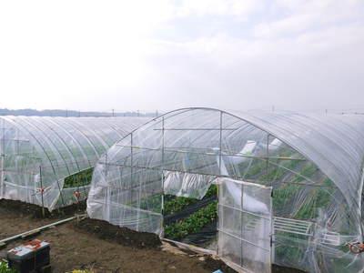 完熟紅ほっぺ 本格的な出荷前の、栽培ハウスの様子と減農薬栽培のこだわり_a0254656_8554483.jpg