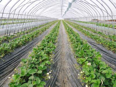 完熟紅ほっぺ 本格的な出荷前の、栽培ハウスの様子と減農薬栽培のこだわり_a0254656_8574251.jpg