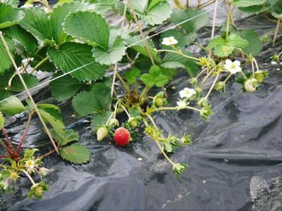 完熟紅ほっぺ 本格的な出荷前の、栽培ハウスの様子と減農薬栽培のこだわり_a0254656_921475.jpg