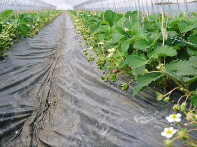 完熟紅ほっぺ 本格的な出荷前の、栽培ハウスの様子と減農薬栽培のこだわり_a0254656_9244255.jpg
