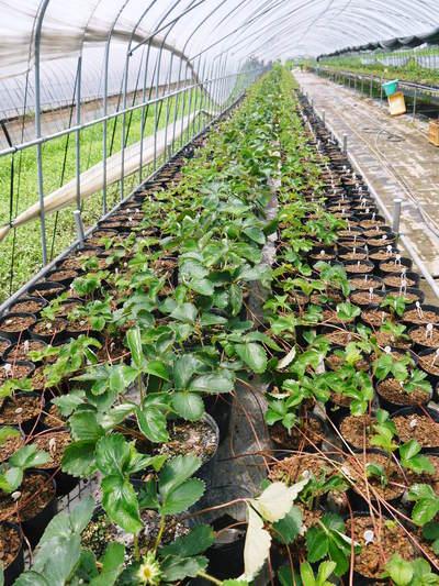 完熟紅ほっぺ 本格的な出荷前の、栽培ハウスの様子と減農薬栽培のこだわり_a0254656_9443100.jpg
