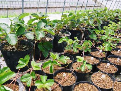 完熟紅ほっぺ 本格的な出荷前の、栽培ハウスの様子と減農薬栽培のこだわり_a0254656_9465980.jpg
