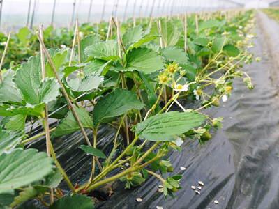 完熟紅ほっぺ 本格的な出荷前の、栽培ハウスの様子と減農薬栽培のこだわり_a0254656_950553.jpg