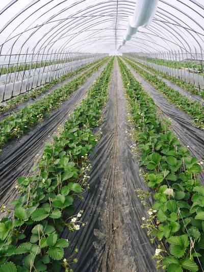 完熟紅ほっぺ 本格的な出荷前の、栽培ハウスの様子と減農薬栽培のこだわり_a0254656_9552071.jpg