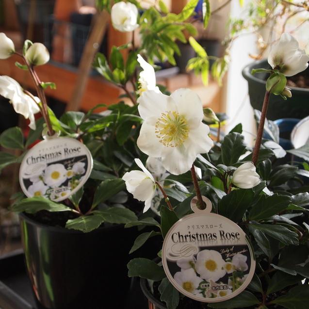 クリスマスローズ_a0292194_16583580.jpg