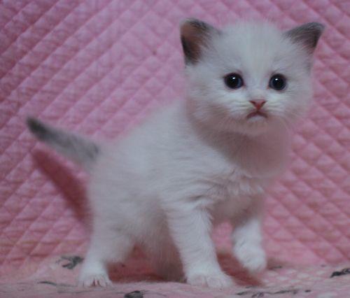 ラグドール子猫10月30日生まれ 女の子4匹_e0033609_19120183.jpg