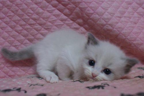 ラグドール子猫10月30日生まれ 女の子4匹_e0033609_19130080.jpg
