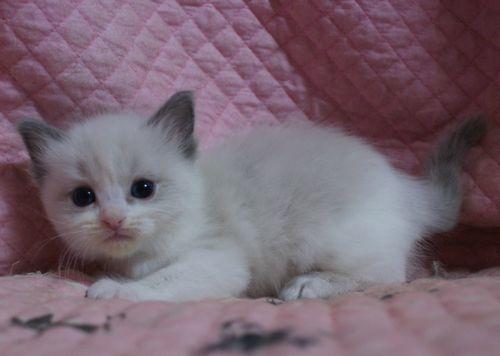 ラグドール子猫10月30日生まれ 女の子4匹_e0033609_19131971.jpg