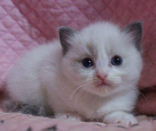 ラグドール子猫10月30日生まれ 女の子4匹_e0033609_19141300.jpg
