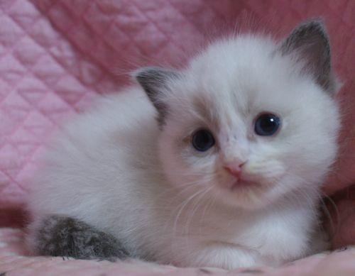 ラグドール子猫10月30日生まれ 女の子4匹_e0033609_19143019.jpg
