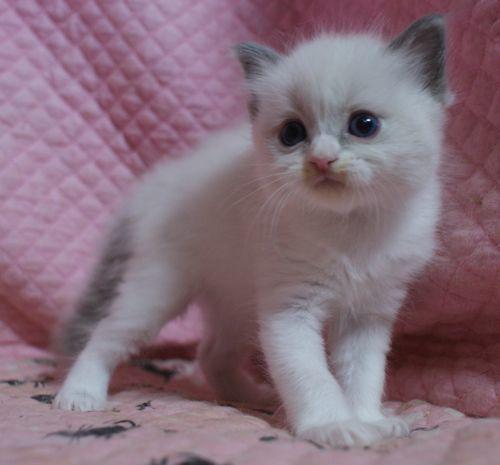 ラグドール子猫10月30日生まれ 女の子4匹_e0033609_19153086.jpg