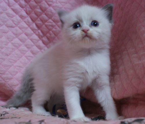 ラグドール子猫10月30日生まれ 女の子4匹_e0033609_19155717.jpg