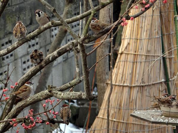 雀とマユミと雪囲いの庭木など_a0136293_13334654.jpg