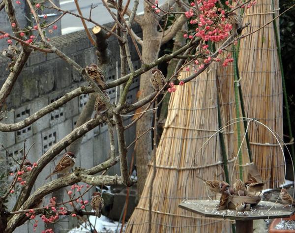 雀とマユミと雪囲いの庭木など_a0136293_13384043.jpg