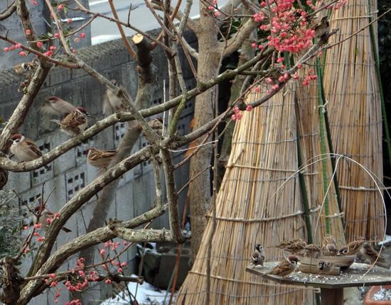 雀とマユミと雪囲いの庭木など_a0136293_13395120.jpg