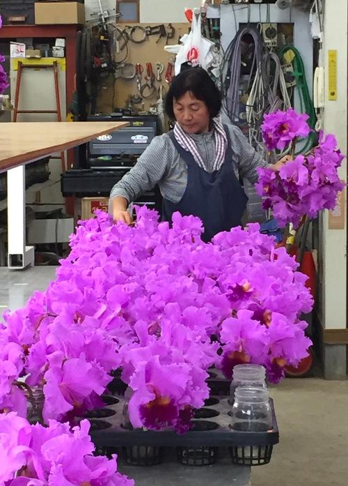 11/2 ガンの撮影_カトレアの山野井洋蘭 / Gan\'s shooting at Yamanoi Orchid Farm_a0216706_1703780.jpg
