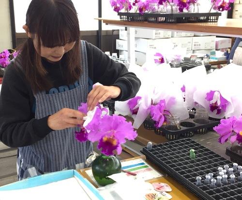 11/2 ガンの撮影_カトレアの山野井洋蘭 / Gan\'s shooting at Yamanoi Orchid Farm_a0216706_1711310.jpg