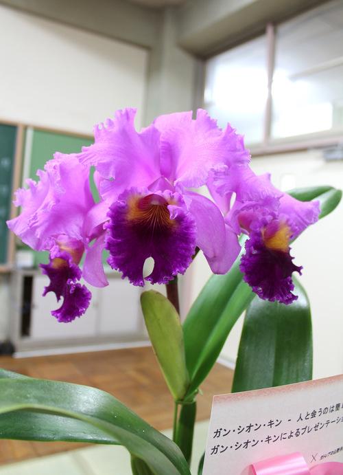 11/2 ガンの撮影_カトレアの山野井洋蘭 / Gan\'s shooting at Yamanoi Orchid Farm_a0216706_174295.jpg
