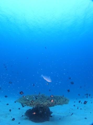 12月2日一本サンゴとカエルアンコウ_c0070933_21500554.jpg
