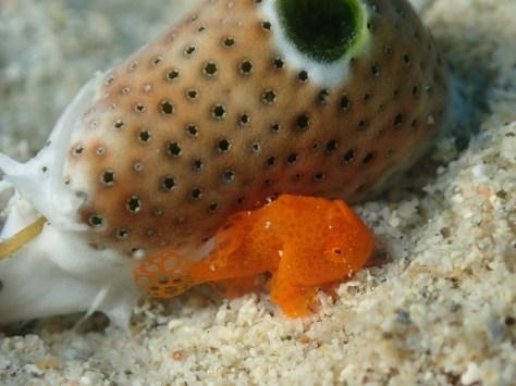 12月2日一本サンゴとカエルアンコウ_c0070933_21542530.jpg