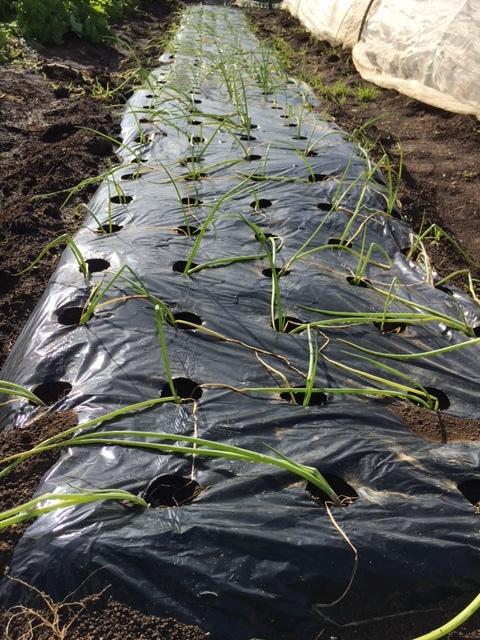 今朝は 昨晩の雨で玉葱に水遣りしなく大丈夫 ラッキーでした  丁度いい保水状態です_c0222448_12465962.jpg