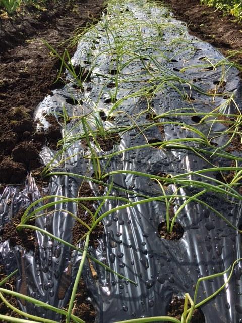 今朝は 昨晩の雨で玉葱に水遣りしなく大丈夫 ラッキーでした  丁度いい保水状態です_c0222448_12471261.jpg