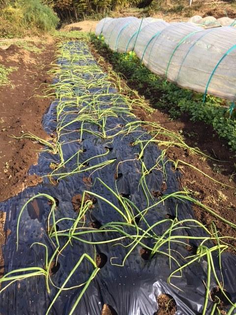 今朝は 昨晩の雨で玉葱に水遣りしなく大丈夫 ラッキーでした  丁度いい保水状態です_c0222448_12472563.jpg
