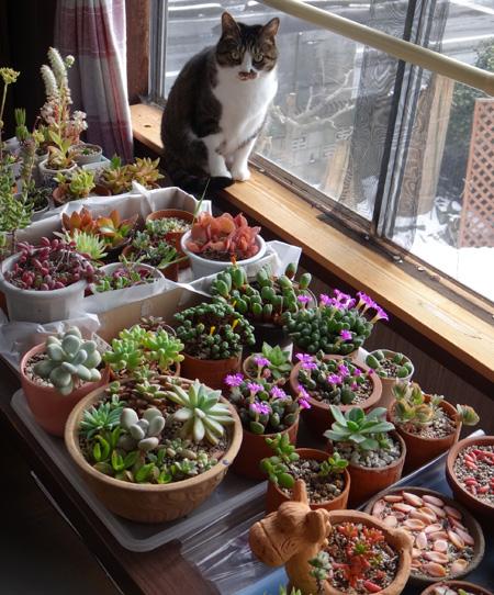 猫部屋の多肉植物たち、冬の準備♪ コノフィツム画像追加あり(^^ゞ_a0136293_18415413.jpg