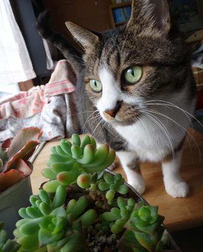 猫部屋の多肉植物たち、冬の準備♪ コノフィツム画像追加あり(^^ゞ_a0136293_18453945.jpg