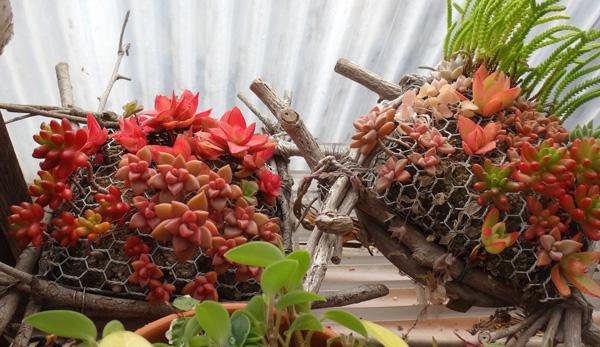 猫部屋の多肉植物たち、冬の準備♪ コノフィツム画像追加あり(^^ゞ_a0136293_18533179.jpg