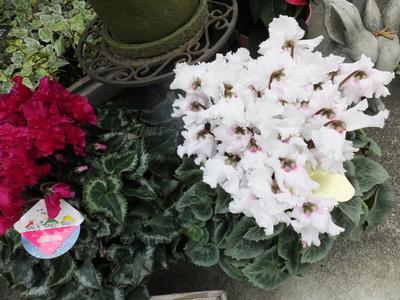 オークリーフ(市川バラ園さんのバラたち)_f0049672_14202429.jpg