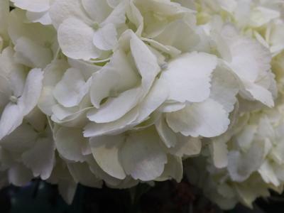 オークリーフ(市川バラ園さんのバラたち)_f0049672_14314198.jpg