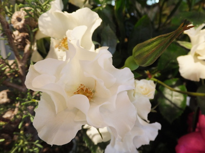 オークリーフ(市川バラ園さんのバラたち)_f0049672_1525140.jpg
