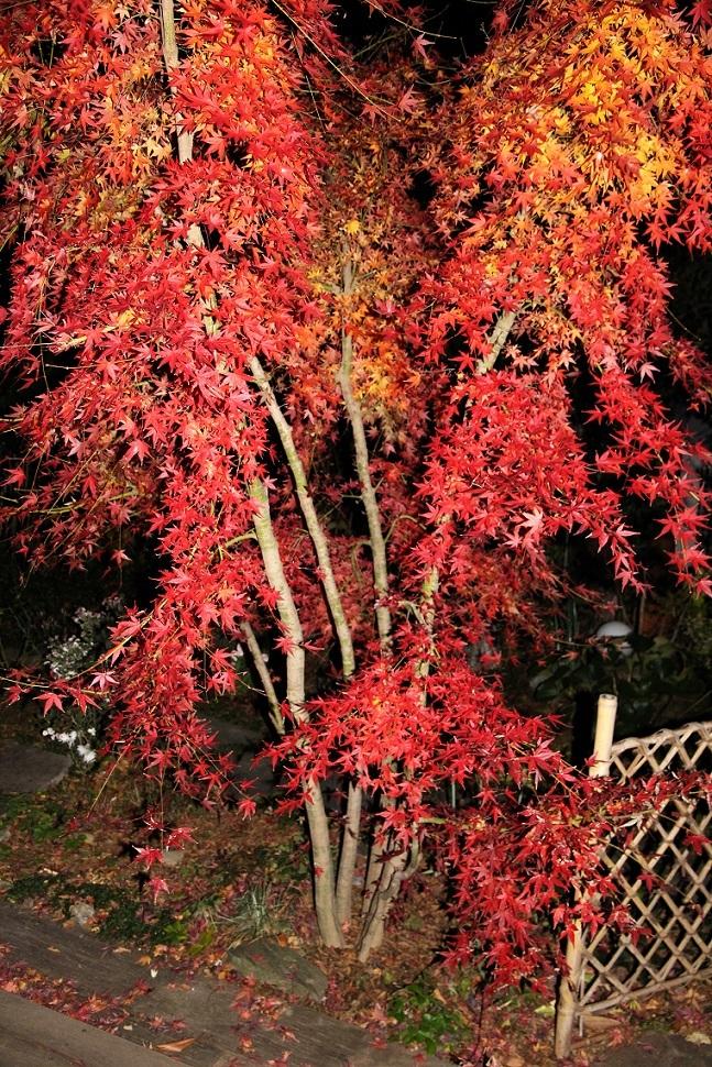 週末はさくら植樹  ~庭の紅葉~_a0107574_20065801.jpg
