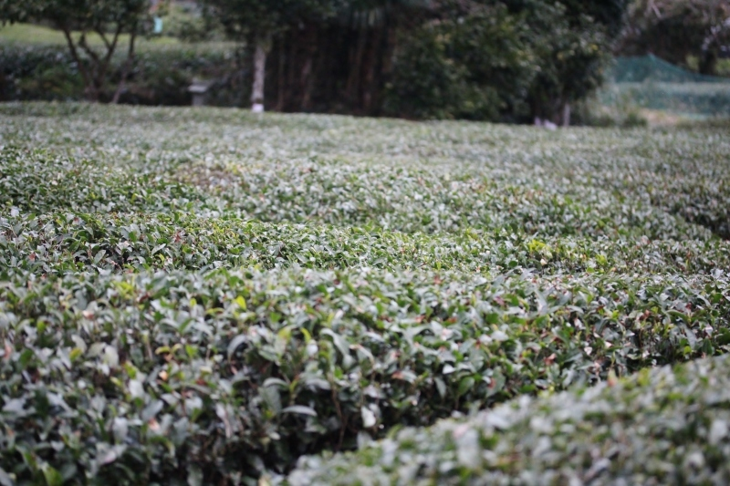 徳島で出会った茶の木_b0220318_02552933.jpg