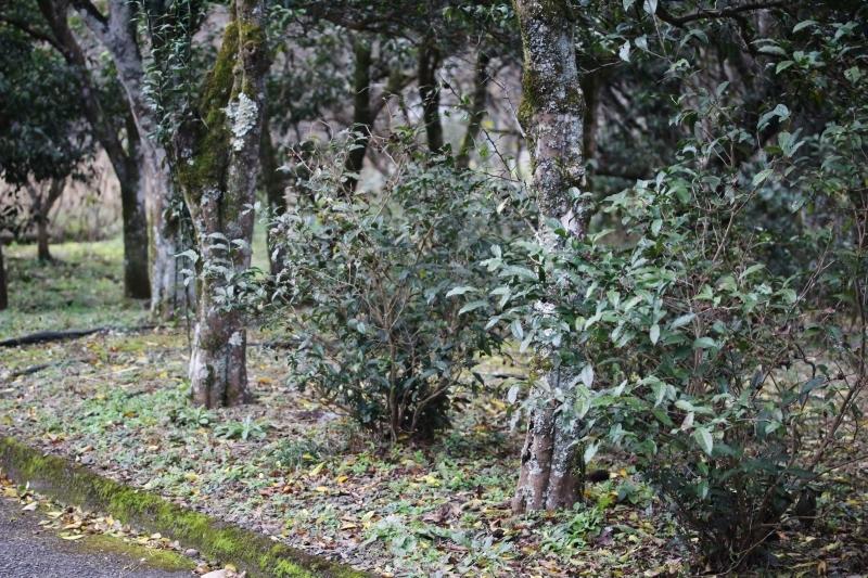 徳島で出会った茶の木_b0220318_02554660.jpg