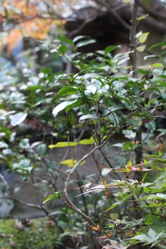 徳島で出会った茶の木_b0220318_02562503.jpg