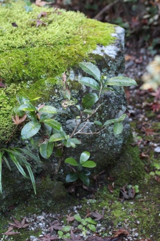 徳島で出会った茶の木_b0220318_02572987.jpg