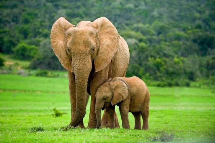 密猟で、ゾウが進化! 「象牙が目的なら、牙がなければいいじゃない」 _b0064113_16423697.jpg